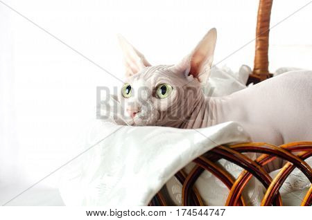 Sphinx cat sitting in basket on white background girl