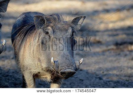 Wart Hog in Captivity at Little Rock Zoo