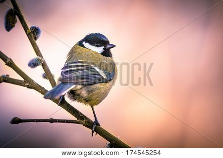 Great Tit On Pussy Willow In Vintage Colors