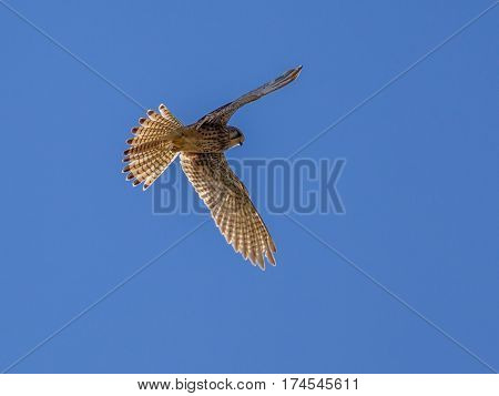 Kestrel Hovering In The Air