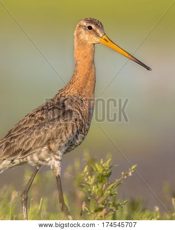 Majestic Black-tailed Godwit Wader Bird Looking In The Camera