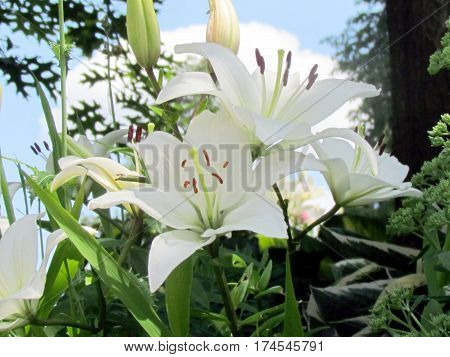 White lily flowers in garden in Toronto Canada July 12 2014