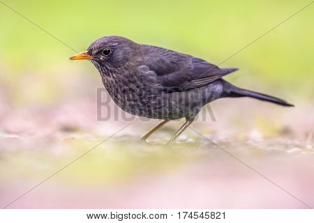 Male Blackbird On Bright Background