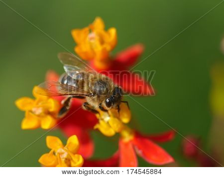 Honey Bee Collecting Nectar and Pollen from Milkweed Flower