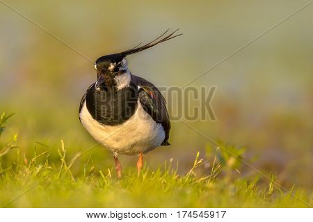Northern Lapwing In Grassland Habitat With Warm Yellow Colors