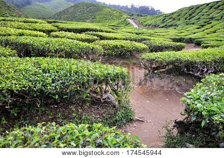 Tea Plantation In The Cameron Highlands In Malaysia