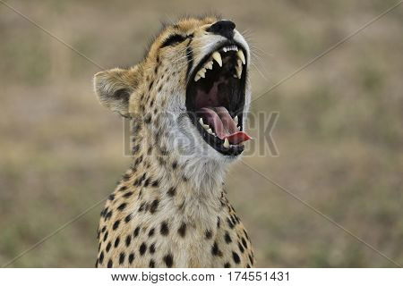 Close up of a growling cheetah with its mouth open