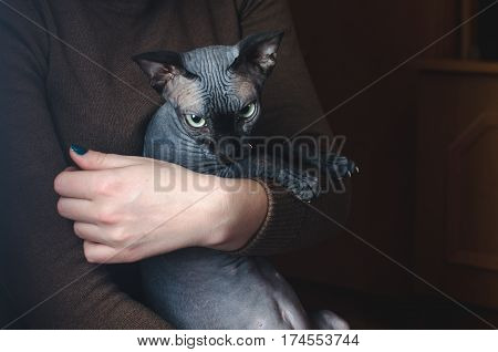 Bald Sphinx cat on hands cute and beautiful