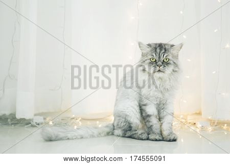 Cute Persian Cat Or Chinchilla Cat Sitting On The Floor.