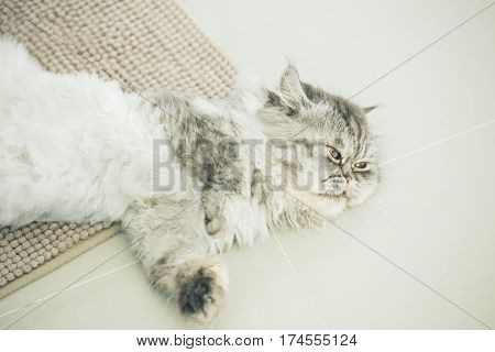 Cute Persian Cat Or Chinchilla Cat Lying On The Floor.