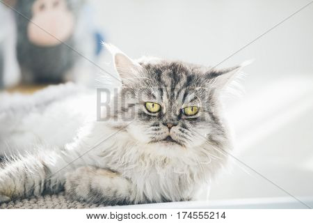 Cute Persian Cat Or Chinchilla Cat Lying On The Sofa Bed.
