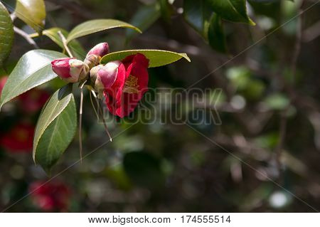 Camellia japonica or Korean Fire branch with red flower