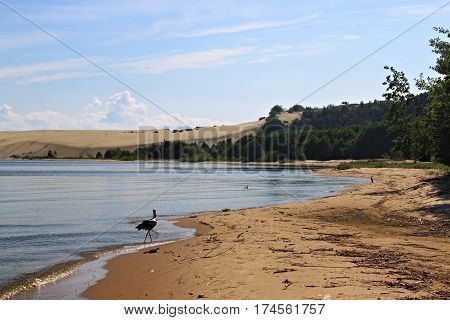 White stork in the sand beach of the Curonian lagoon near Morskoe (Pillkoppen) village in the Curonian Spit National Park. Russia.