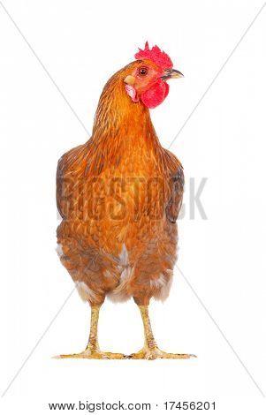 hen isolated on white, studio shot