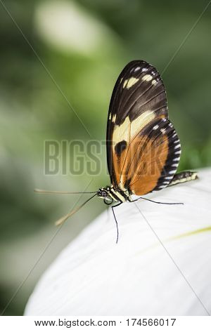 Beautiful Mechanitis Polymnia Dorissides Butterfly From South America