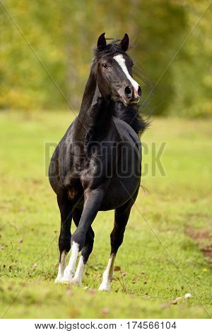 Black Arabian Stallion cantering at pasture alert