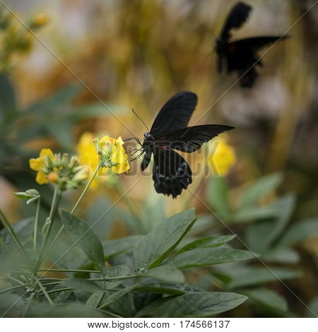 Scarlet Swallowtail Butterfly On Bright Yellow Flower With Other Butterfly Flying In Background