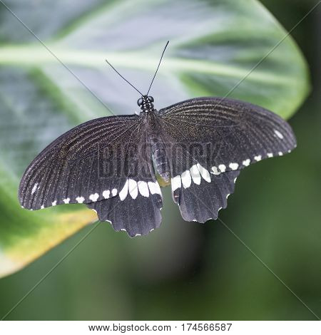 Common Mormon Pupilo Polytes Butterfly Settled On Leaf