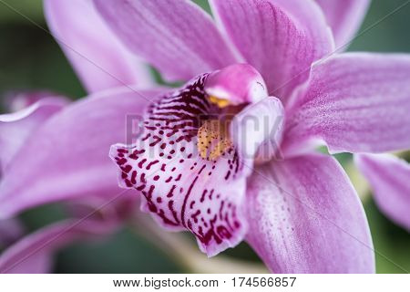 Stunning Cymbidium Rievaulx Hamsey Orchid Flower In Full Bloom
