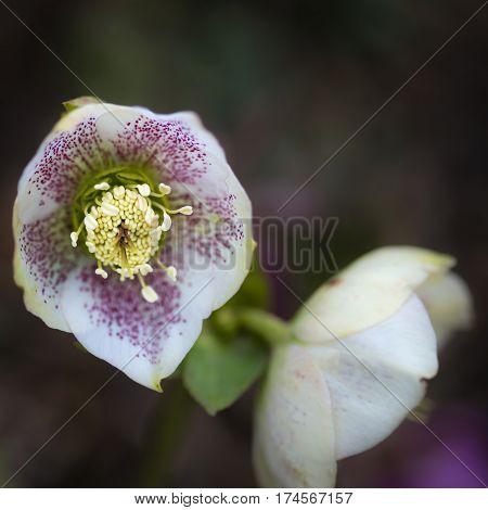 Beautiful Vibrant Helleborous Hybridus Flower In Full Bloom In Spring