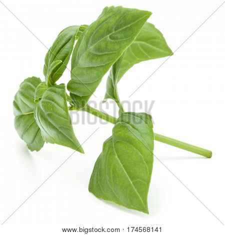 Close up studio shot of fresh green basil herb leaves isolated on white background. Sweet Genovese basil.