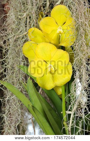 Inflorescence of large yellow orchid flowers in a greenhouse