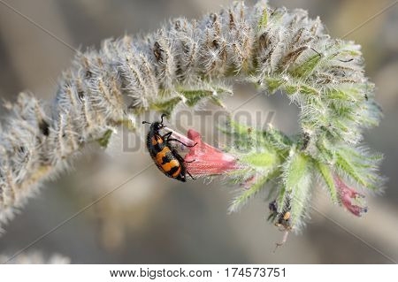 Closeup of the nature of Israel - Meloidae beetle