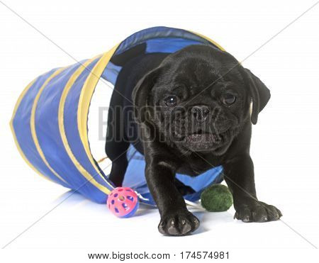 puppy black pug in a tunnel in front of white background