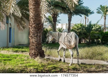 White Horse Stands On The Background Of Palm Trees At Sunset