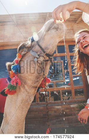 Young woman giving water to camel and laughs.