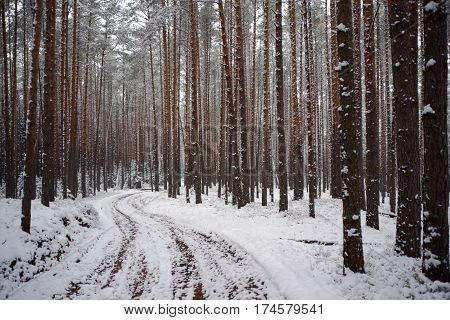 Forest Road in the pines under the first snow