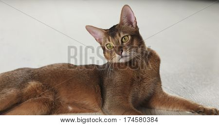 abyssinian cat lying on the floor looking to camera, 4k photo
