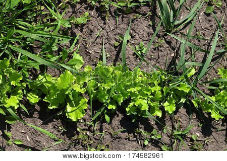 Green Salad Lettuce Growing In Garden