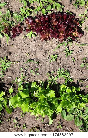 Young green and red salad lettuce (Lactuca sativa) growing in garden. View from above.