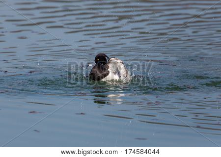 portrait of male tufted duck (Aythya fuligula) while swimming splashing and grooming