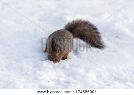 Squirrel on the snow in a winter day