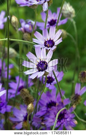 Blue and lilac flowers of Catananche (Cupid's dart). Family Compositae.