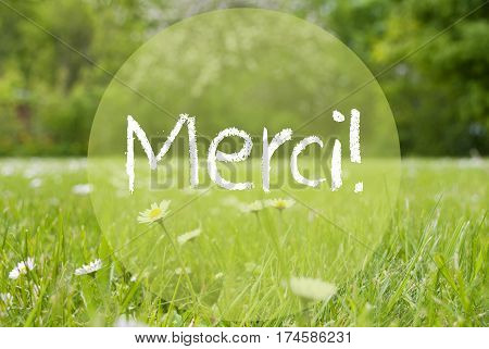 French Text Merci Means Thank You. Spring Or Summer Gras Meadow With Daisy Flowers. Blurry Trees As Background.
