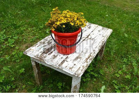 Big medical St Johns wort flowers bunch in red bucket on old garden table