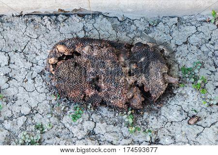 Closeup to Ignored Rotten Jackfruit on Dry Ground