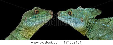 Closeup Two Green Crested Basilisk or jesus christ lizards, male and famele isolated on Black background