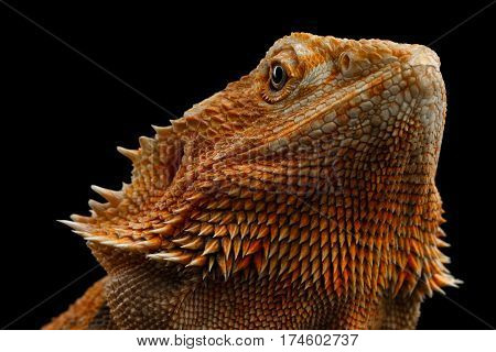 Portrait of Bearded Dragon Llizard on Isolated on Black Background