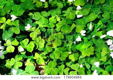Wood Sorrel Oxalis acetosella Oxalidaceae. Irish Wild flowers