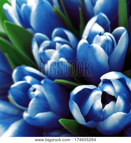 tulips flowers. Bouquets of white-blue tulips. Spring background with flowers tulips. Closeup. Nature.