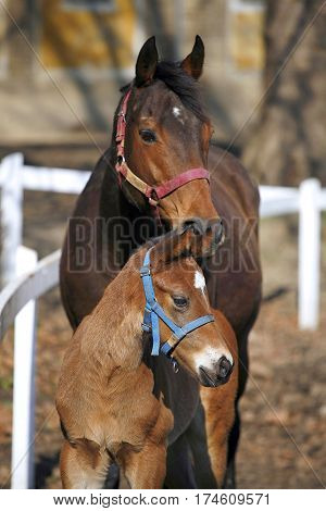 Beautiful few weeks old little filly grazing peaceful with her mare on animal farm springtime