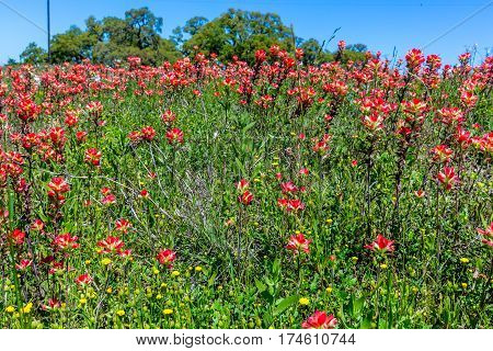 A Beautiful Field of Various WIldflowers but Mostly of Bright Orange Indian Paintbrush (or Prairie Fire) Wildflowers in the Texas Hill Country. Castilleja foliolosa. poster
