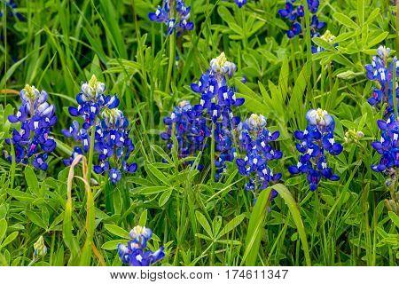 A Cluster Of Fresh Texas Bluebonnets.