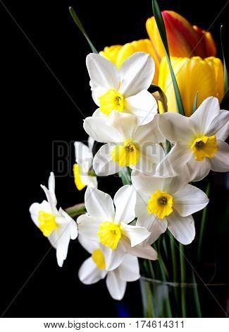 white springtime daffodil flower isolated on black background