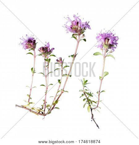 Wild thyme flowers isolated on white background