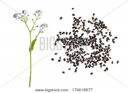 Wood forget-me-not plant (Myosotis sylvatica). Flower and seeds isolated on white background